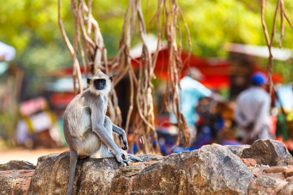 Affen in Anuradhapura