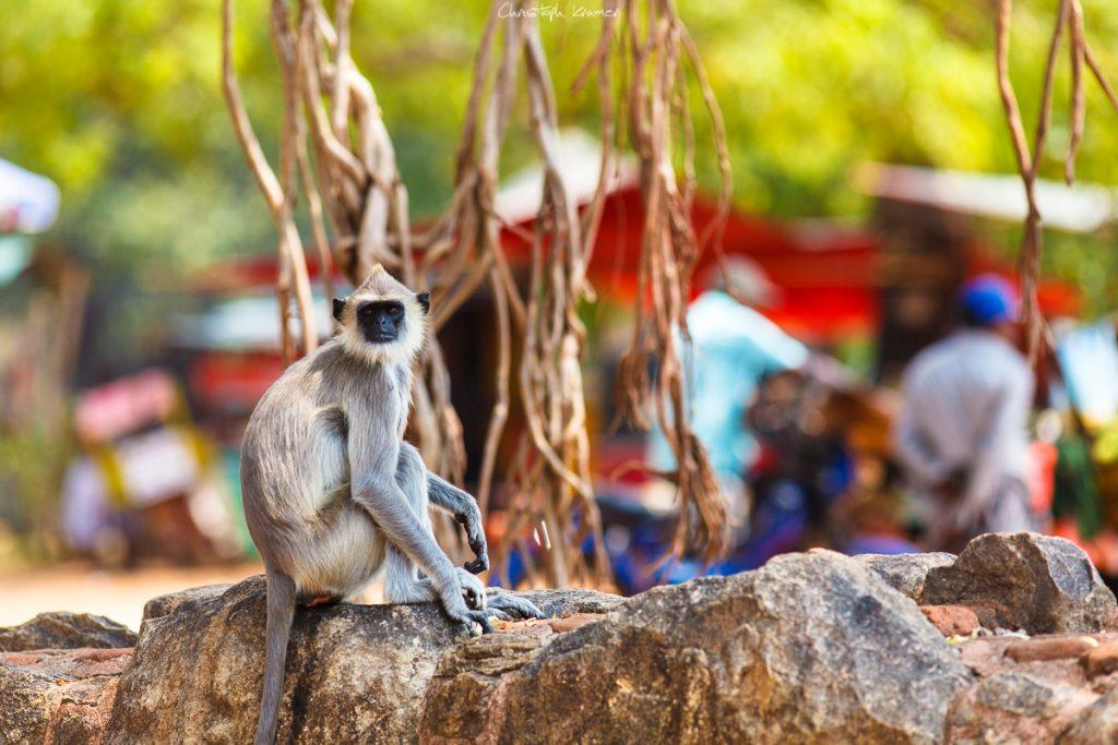 Affen in Anuradhapura - Blende f3,2
