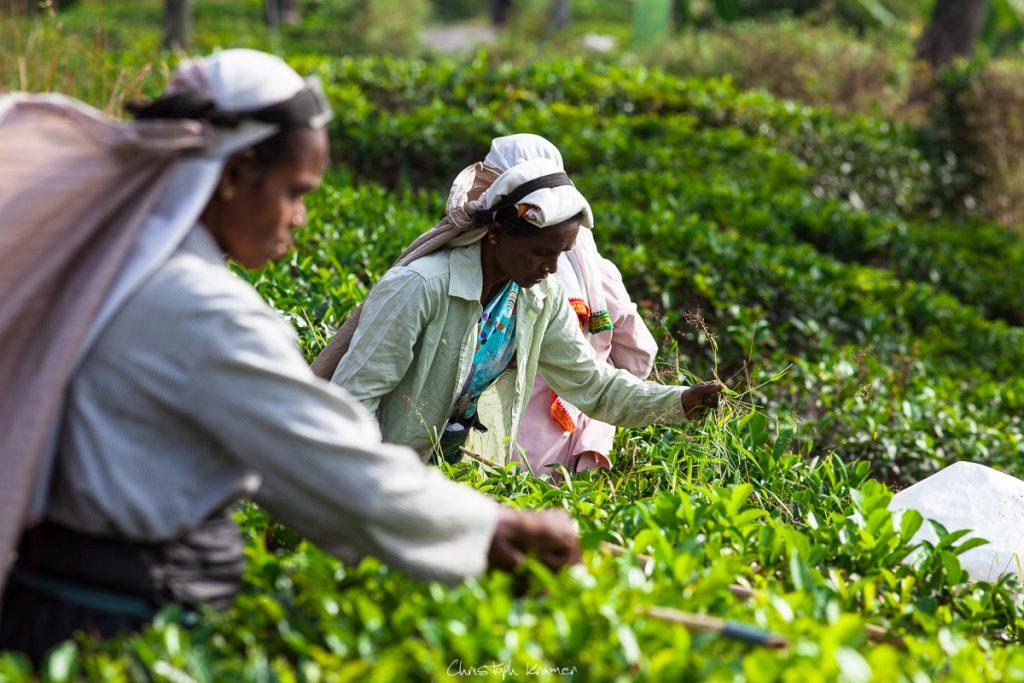 Frauen beim Ernten von Tee