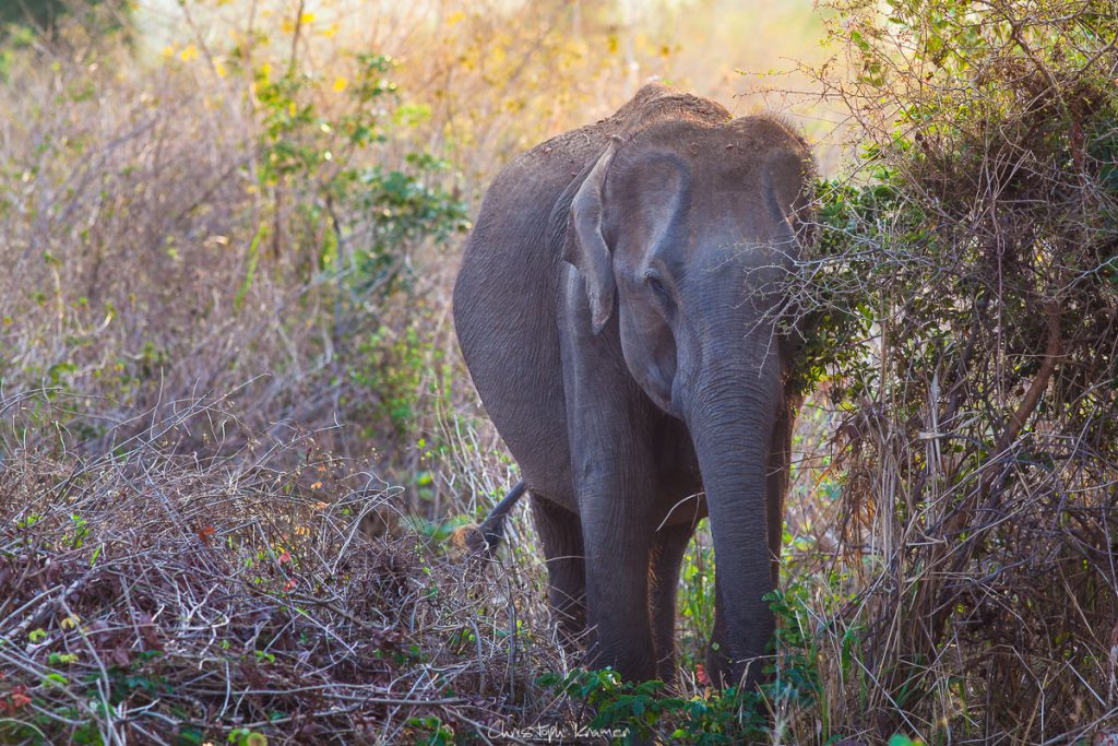 Elefant in Udawalawe