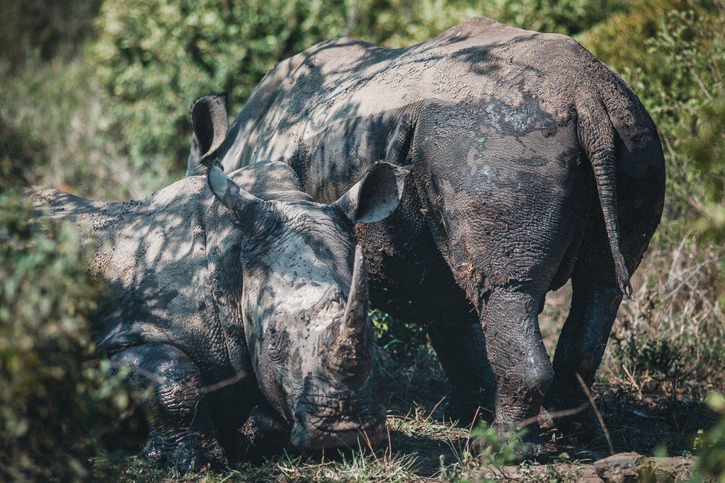 Nashörner im Hluhluwe Nationalpark