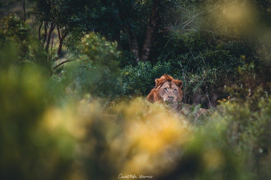 Ein Löwe versteckt hinter Büschen
