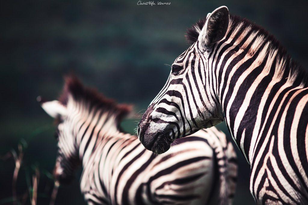 Eines von vielen Zebras im Hluhluwe Nationalpark