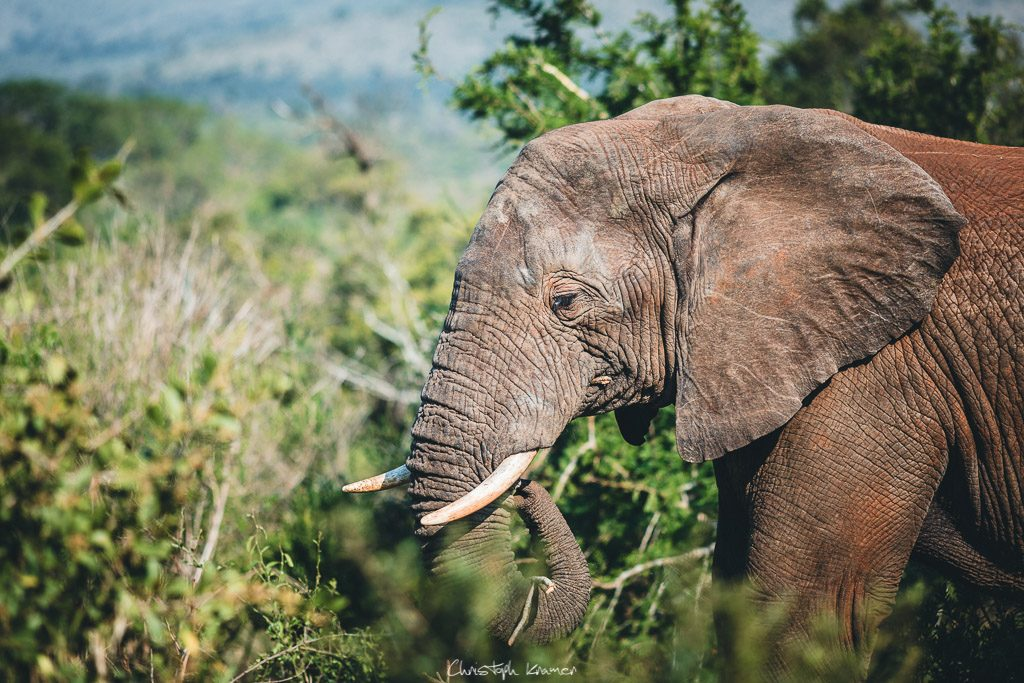 afrikanischer Elefant im Hluhluwe Nationalpark