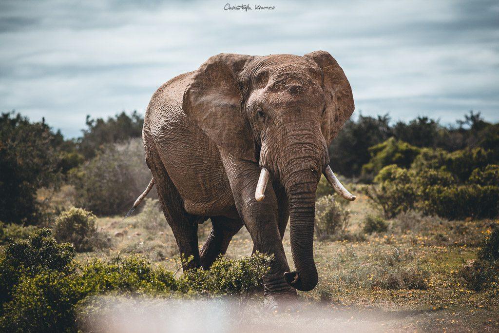 Ein Elefanten Bulle läuft an unserem Jeep vorbei