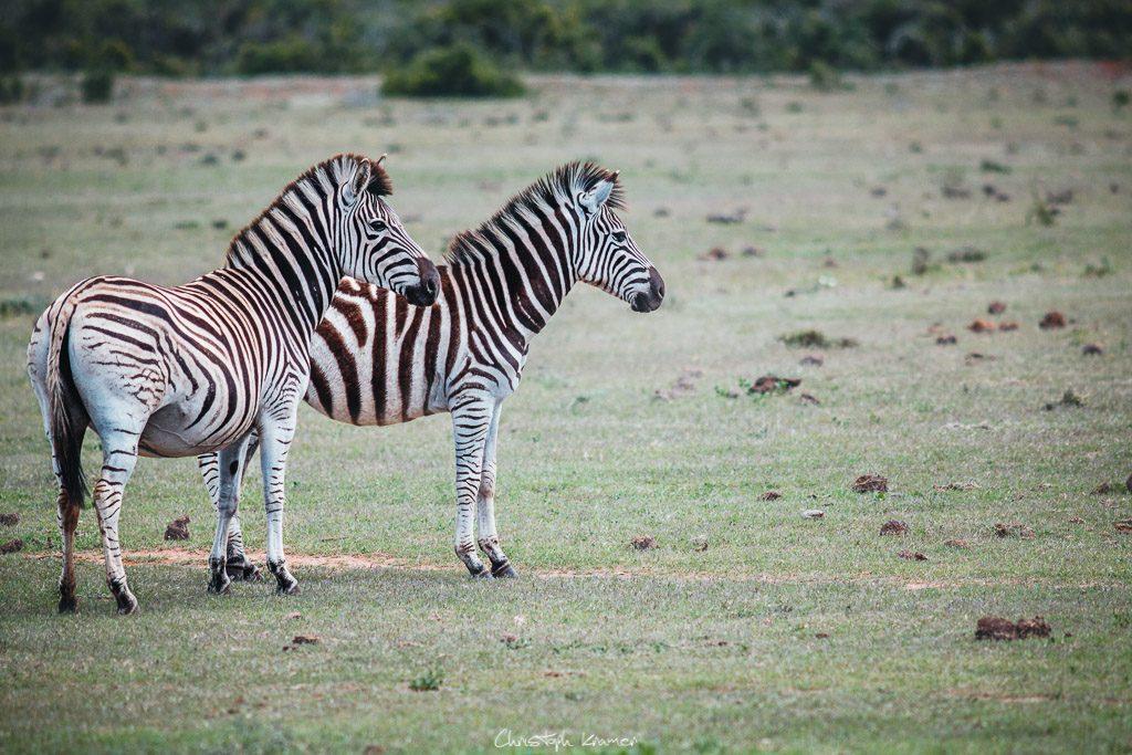 Die Zebras haben einen Löwen entdeckt