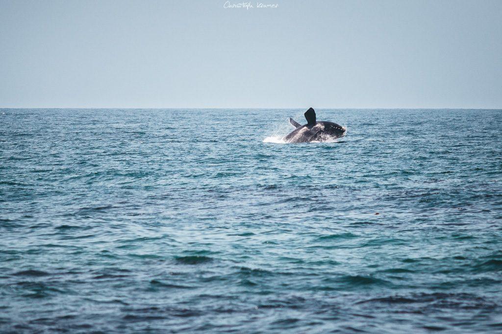 springender Wal an der Küste von De Kelders