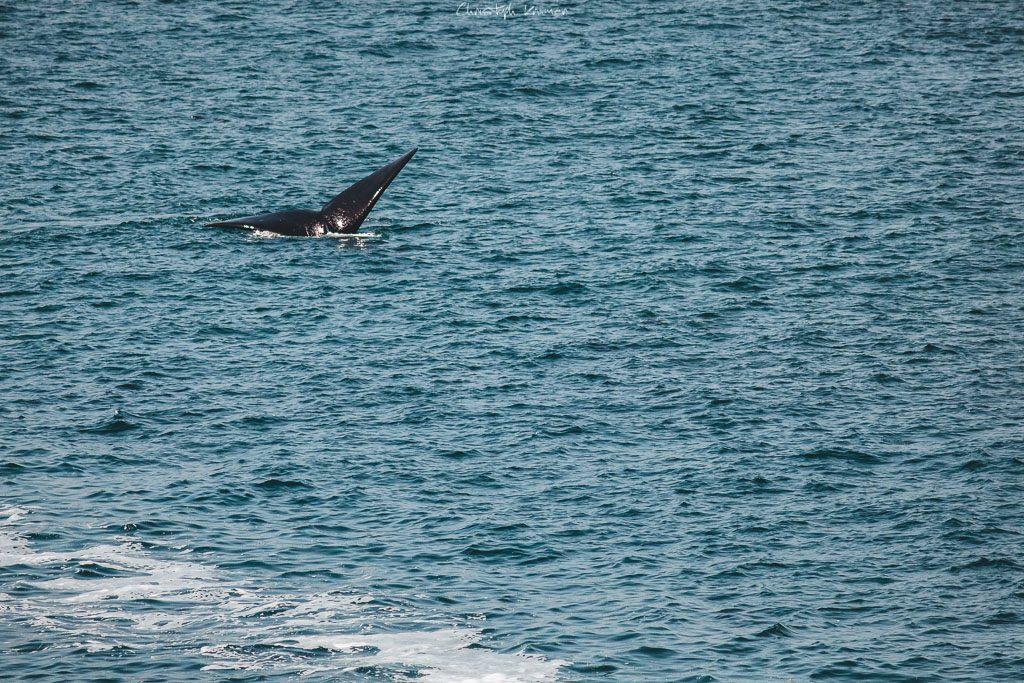 Wal Flosse im Hafen von Hermanus