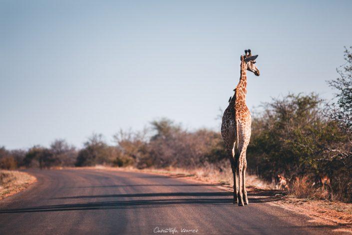 Giraffe im Licht der Abendsonne