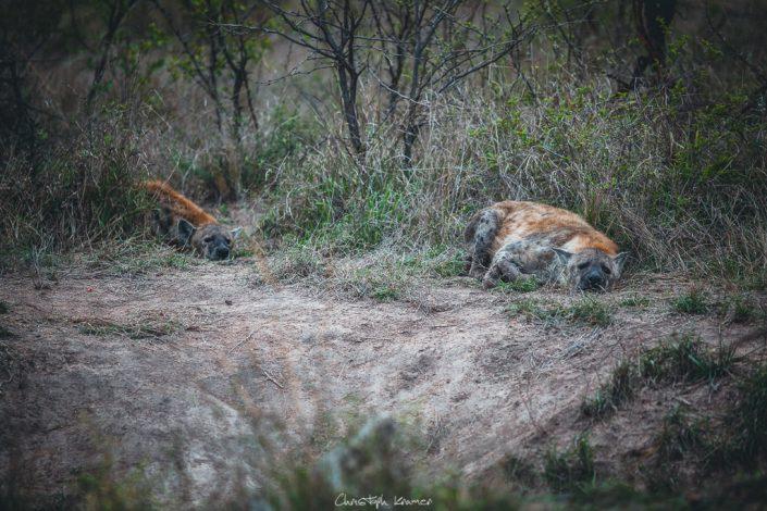 Hyänen ruhen sich aus