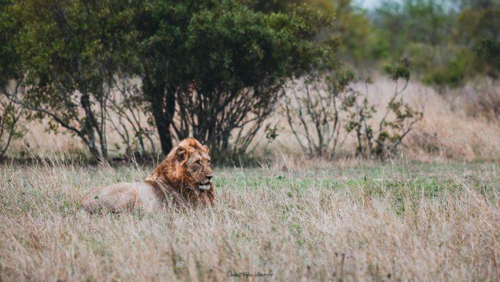 männlicher Löwe in der Steppe