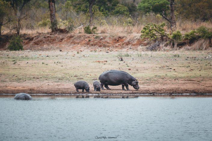Nilpferd Familie am Wasserloch