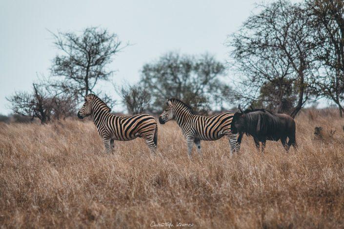 Zebras und ein Gnu