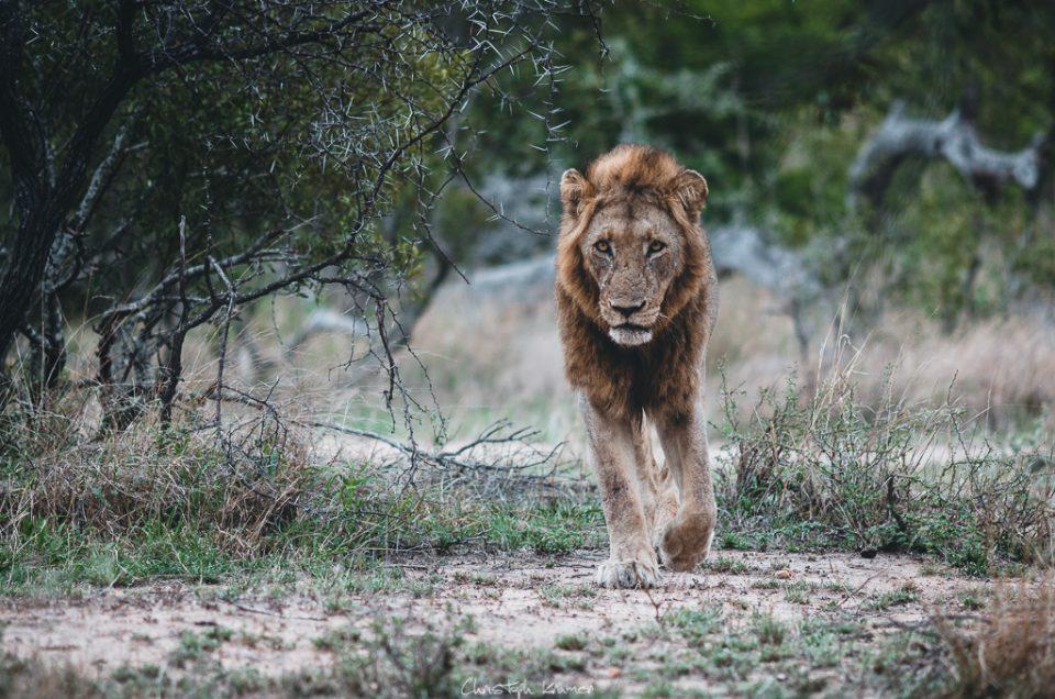 männlicher Löwe im Kruger National Park