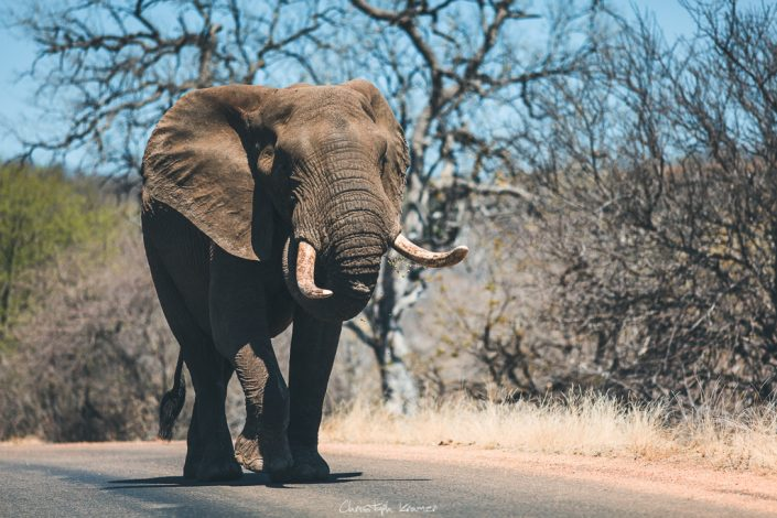 Elefant im Kruger National Park