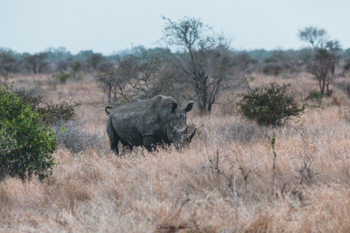 Nashorn im Kruger National Park