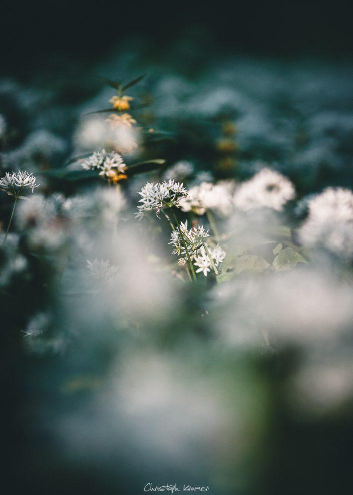 Bärlauch Blüten