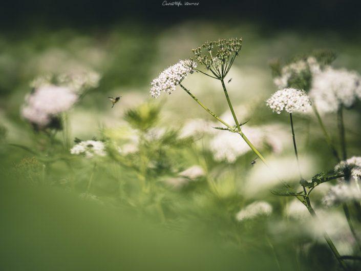 Insekten im Anflug auf die Bergblumenwiese