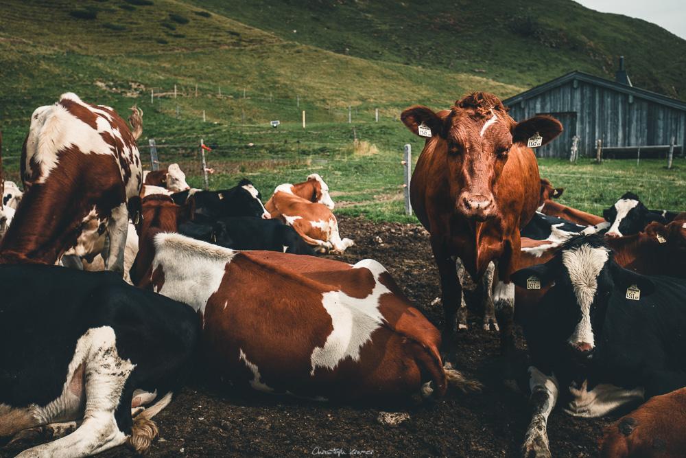 Kühe in der Leoganger Bergwelt